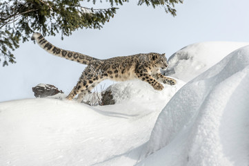 Photo sur Aluminium Leopard snow leopard jump