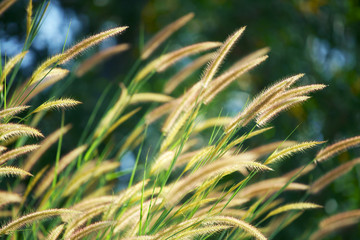 Wall Mural - close up of reeds flower background
