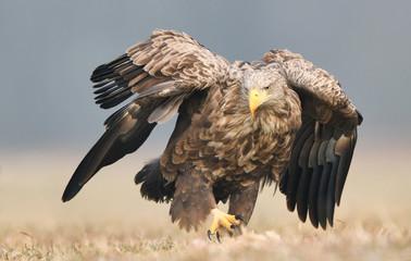 Keuken foto achterwand Eagle White tailed eagle (Haliaeetus albicilla)