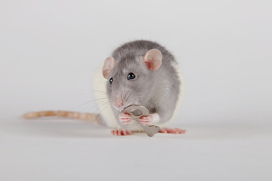A little mouse, a rat holding, gnawing, carried away, dragged away, gives the key from the apartment, the car in the paws of a shiny metal key from the lock on a gray, white background.