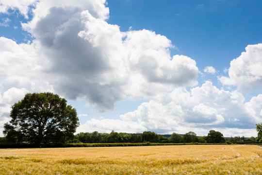 Surrey, UK. Yellow barley field against vibrant blue sky.