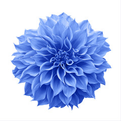 Blue Dahlia flower the tuberous garden plant isolated on white background with clipping path, blue Dahlia is a symbol of a new beginning and a new chapter.
