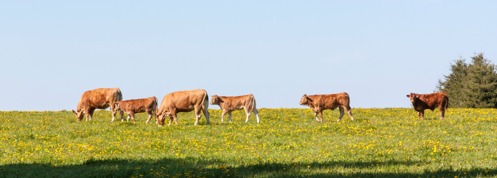 Herd of Limousin beef cattle in a spring pasture with cows, bullocks and a calf grazing amongst yellow dandelions, panorama  banner format