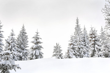 Foto auf AluDibond Weiß Winter landscape of fir forest in snow. Carpathian mountains