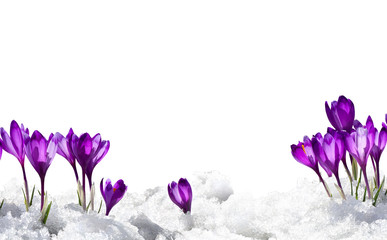 Photo sur Plexiglas Crocus Spring snowdrops flowers violet crocuses (Crocus heuffelianus) in snow on a white background with space for text