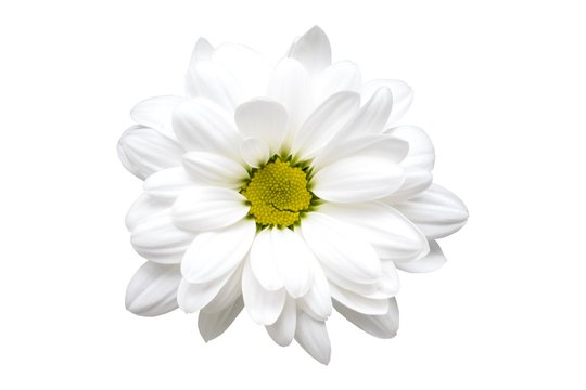 white chrysanthemum flower closeup no background