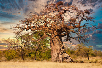 Photo sur cadre textile Baobab Old baobab tree