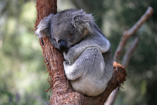 Cuddly young Australian koala sleeping in the fork of a tree branch.