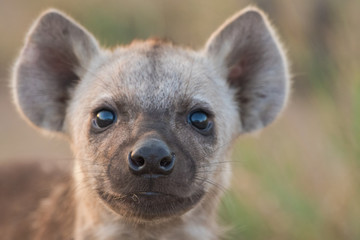 Photo sur Plexiglas Hyène Spotted hyena pup close