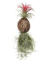 Ananaspflanze aus Kokosnus