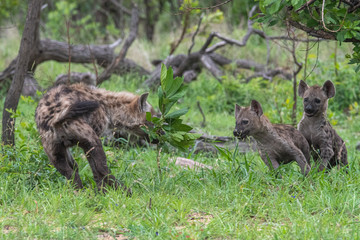 Hyena playing