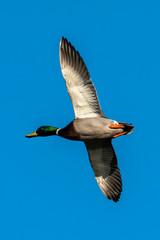 Male Mallard Duck (Anus platyrhynchos) bird in flight with a clear blue sky