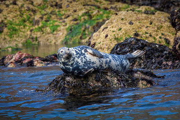 Grey Seal (Halichoerus grypus) a common large wild sea life animal mammal resting on a rock in Tenby Wales UK and commonly known as Atlantic seal or horsehead seal