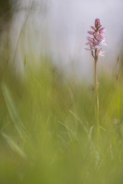 Wild orchid in closeup