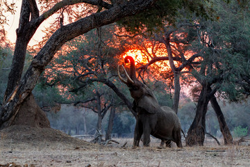 Keuken foto achterwand Olifant le elephant at sunset in the dry season in the forest of high trees in Mana Pools National Park in Zimbabwe