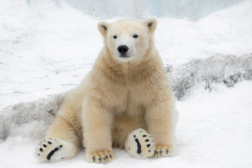 Funny polar bear. Polar bear sitting in a funny pose. white bear