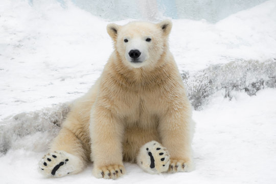 Funny polar bear. Polar bear sitting in a funny pose. white bear