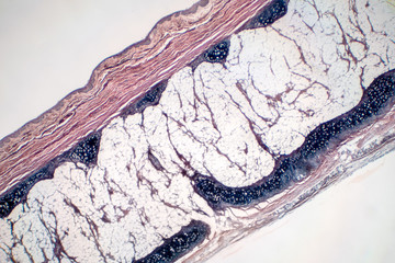 Human hyaline cartilage bone under microscope view for education pathology.