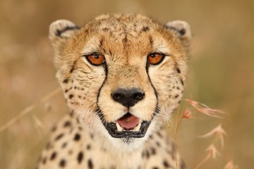 Foto op Canvas Luipaard Selective focus shot of a beautiful African leopard on the grass covered fields