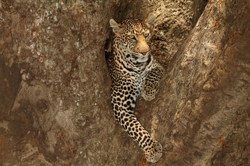 In de dag Luipaard Magnificent African leopard lying on the branch of a tree in the African jungle