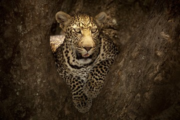 Magnificent African leopard lying on the branch of a tree in the African jungle