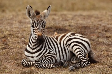 Canvas Prints Zebra Beautiful baby zebra sitting on the ground captured in the African jungle