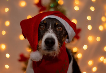 dog with santa claus hat for christmas