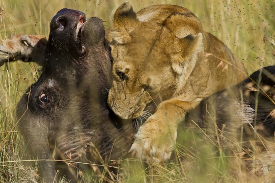 Little lion feeding from a dead black buffalo in the middle of the grass covered field