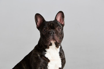 Foto op Plexiglas Franse bulldog Black and white French Bulldog. Studio shot. Gray background. Isolated animal