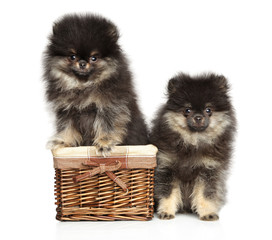 Wall Mural - Two adorable Pomeranian puppies on a white background.