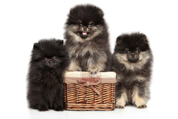 Wall Mural - A group of adorable Pomeranian Spitz puppies