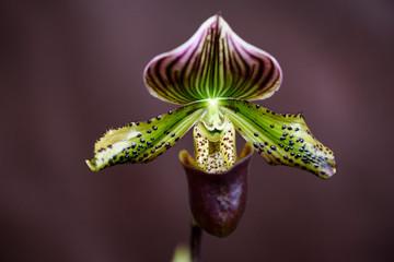 Rare Orchid, Paphiopedilum, Close-up