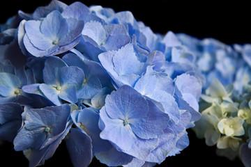 Fond de hotte en verre imprimé Hortensia Blue Hortensia