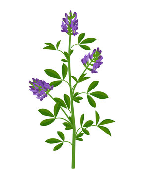 Alfalfa, lucerne healing flower vector medical illustration isolated on white background in flat design, infographic elements, healing herb icon.