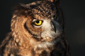 african owl ears raised eyes beak closed dark background Fotomurales