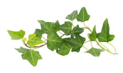 Obraz ivy isolated on white background,Natural green texture - fototapety do salonu