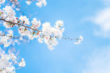 Photo sur Plexiglas Fleur de cerisier 桜の花