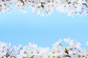 Autocollant pour porte Fleur de cerisier 桜の花