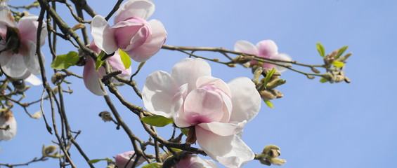 Photo sur Aluminium Magnolia Magnolia blossom tree. Beautiful magnolia flowers against blue sky background close up. Japanese magnolia.