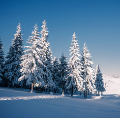 Wall Mural - Vivid white spruces on a frosty day. Location Carpathian mountain, Ukraine, Europe.