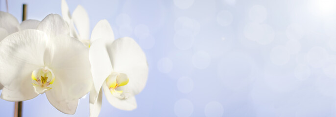 Tuinposter Orchidee White Orchid flower on blue background. Selective focus. Blurred background with bokeh. Copy space