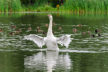 Foto auf AluDibond Natur Swan in the water - Zwaan
