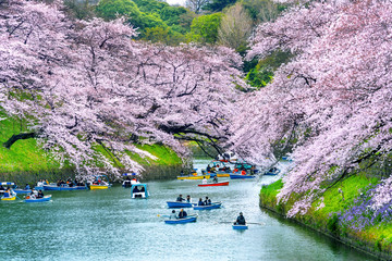 Wall Mural - Cherry blossoms at Chidorigafuchi park in Tokyo, Japan.
