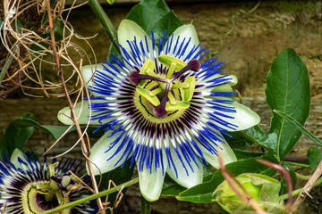 Passion flower (passiflora caerulea) a blue white summer flower plant  which is a deciduous semi evergreen perennial climbing vine with an orange fruit