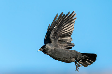 Jackdaw (Coloeus monedula) crow bird flying and frozen in flight with a clear blue sky
