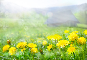 Fototapeten Gelb The field of dandelions. Spring in the mountains. Strong morning sun. Small cottage in the mountains. Nature background.