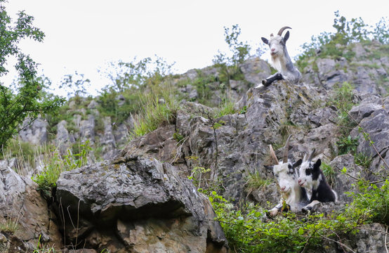Feral Goats in Cheddar Gorge in Sommerset, UK.  The goats were introduced for conservation.