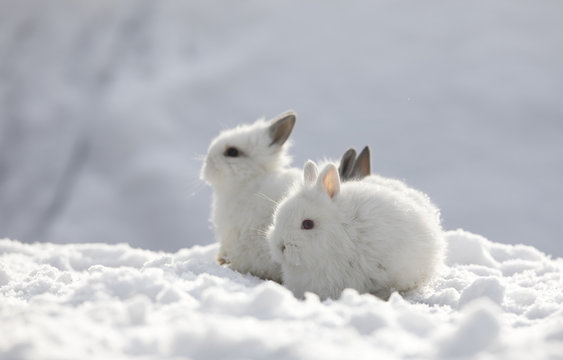 two little white rabbit in the snow in winter