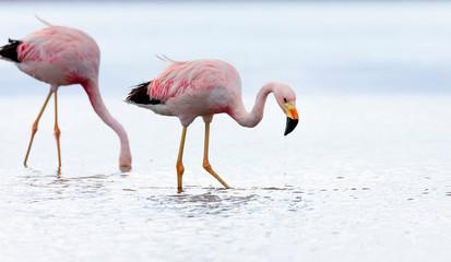 Foto op Canvas Flamingo Closeup of two Andean flamingos (Phoenicoparrus andinus) in salt lake Chaxa near San Pedro de Atacama, Chile. South America
