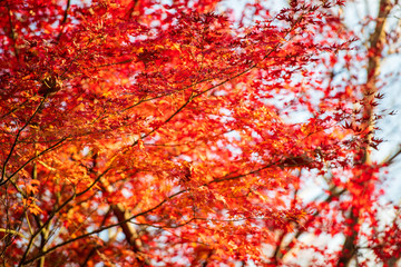 Tuinposter Rood 紅葉ロード【福岡県東峰村】